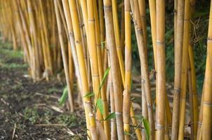bamboe foto