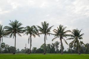 bomen in rijstvelden. foto
