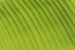 vers bananenblad geïsoleerd op wit foto