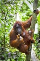 een orang-oetan op een boom in de jungle foto