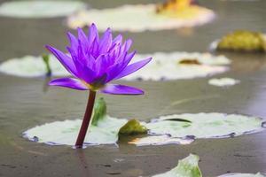 paarse lotusbloem foto