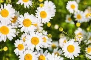 wilde bloemen op het veld foto