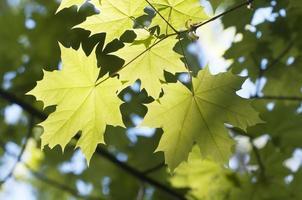 groene esdoornbladeren