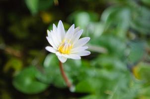 witte lotus op de rivier foto