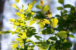 achtergrond van jonge eikenbladeren op takken