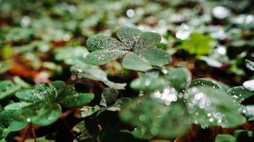 klaver (oxalis oregana) close-up foto