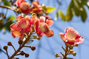 shorea robusta bloemen aan de boom foto