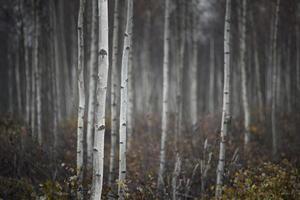 stammen van kleine witte berkenbomen
