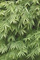 groene bamboe blad achtergrond foto