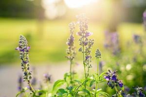 blauwe bloemen salvia glanzende achtergrond foto