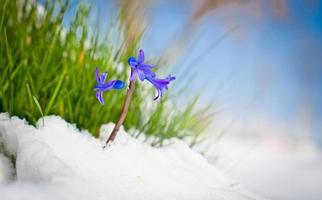 de eerste knoppen van hyacint in het voorjaar.