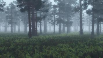 mistig dennenbos met varengrond. foto