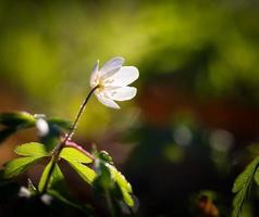 witte anemonen (anemone nemorosa). foto