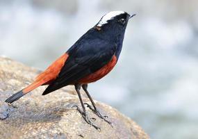 white-capped water-redstart of river chat, de zwarte en rode bir foto