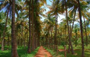 kokosnoot boom plant foto