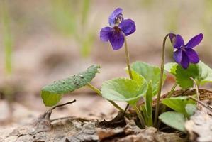 wilde violette bloemen