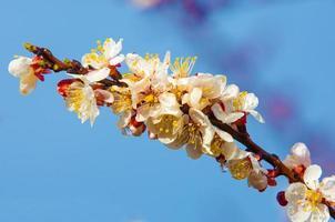 lente bomen in bloei foto