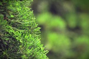 dennenbladeren met groene zachte kleur vintage achtergrond