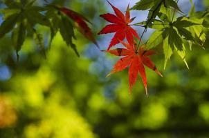 groene verandering naar rood esdoornblad foto
