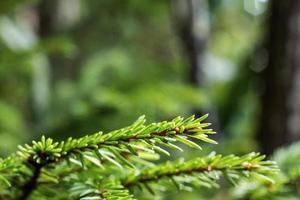 takken van pijnboom op onscherpe achtergrond foto