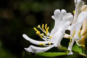 witte kamperfoelie bloesem foto