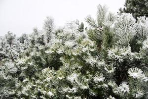 dennen en dennennaalden bedekt met sneeuw