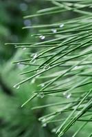 regendruppels op dennennaalden foto