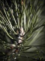 pijnboom close-up met wazige achtergrond - indie vintage retro