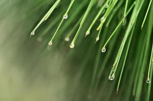 regendruppels op dennenbladeren foto