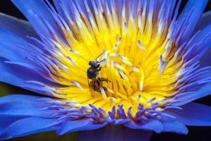 bij op prachtige lotusbloem. foto
