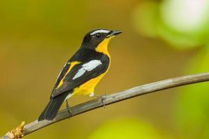 achterkant mannelijke geelrugvliegenvanger foto