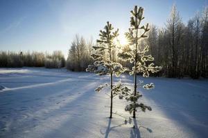 twee jonge pijnbomen in winterpark