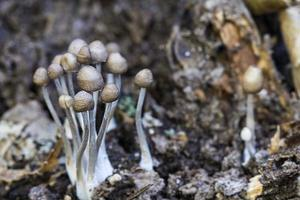 kolonie kleine paddenstoelen foto