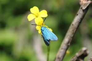 blauwe vlinder op gele bloem foto