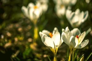 witte krokussen foto