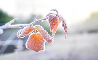 met ijs bedekte bladeren vertellen over de komst van de winter foto
