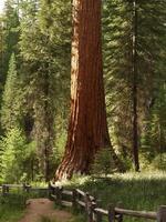 mariposa grove sequoia's foto
