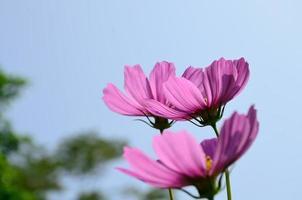 roze kosmosbloem foto