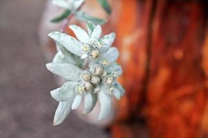 edelweiss - bergbloem foto