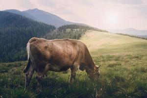 koe in de bergen foto