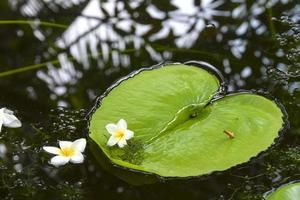 heldergroen lotusblad