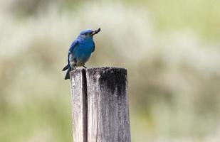 berg bluebird man foto