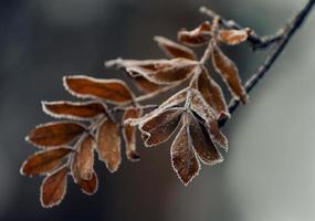 bevroren bladeren lijsterbes.