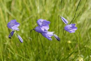 klok bloemen bergen foto