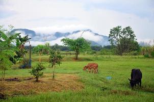 agrarische koeienboerderij met berg foto