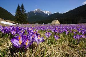 krokussen in chocholowska-vallei, tatra-gebergte, polen foto
