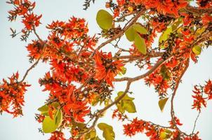 bastaard teak bloem bloei, oranje kleur