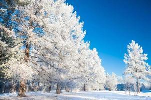 grote pijnbomen met rijm tegen de blauwe lucht.