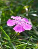 dianthus callizonus, endemische plant voor piatra craiului-bergen foto