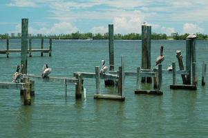 pelikanen bij de rivier